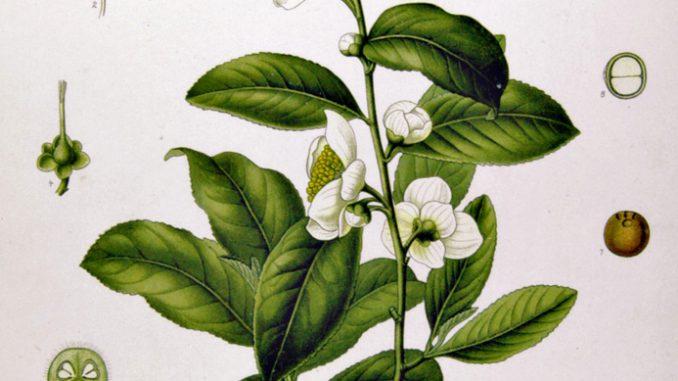 Camellia sinensis. by Franz Eugen Kohler, Kohler's Medizinal-Pflanzen 1897.