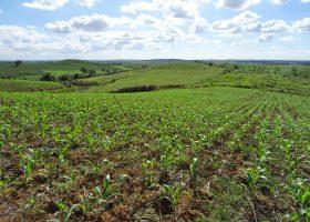 イラガン市の丘陵地で一面に広がるGMトウモロコシ畑。
