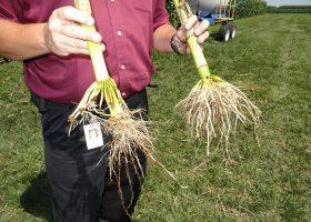 GMトウモロコシの根(右)に比べ非GMトウモロコシでは根から茎まで害虫に侵されている。イリノイ州モンマウスのモンサント社ラーニングセンターで