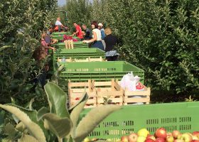リンゴの収穫風景。