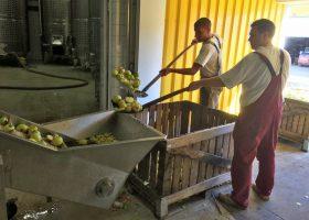 ノビリス社では収穫されたばかりのリンゴの破砕作業の真っ最中だった。