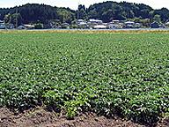 大規模なジャガイモ圃場(宮城県)