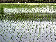 植え付け直後の水田(茨城県)