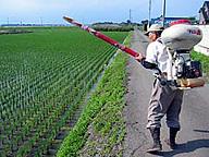 田植えの後に窒素肥料をまく/茨城県