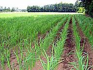 陸稲ではなく水稲を育てている畑/茨城県