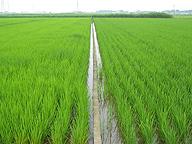 化学肥料を使用しない水田〈右〉と、慣行栽培の水田〈茨城県で〉。右の水田の農家曰く「うちの目標はローならぬノー・コスト経営」