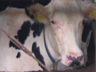 牛だけがスターなのではない(国産の乳牛。本文とは関係ありません)