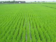 コシヒカリの圃場。作り手の数だけコシヒカリの品質はあるが、その違いは消費者には伝わらない