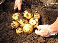 ジャガイモ栽培は簡単だと思われがちだが、ハイレベルな収量を得るには相当な技術を要する