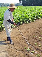 北海道型の手押し除草機の一つ。棒の先に取り付けたレーキとスキー状の板を作物のそばで滑らせ、雑草の芽を倒していく