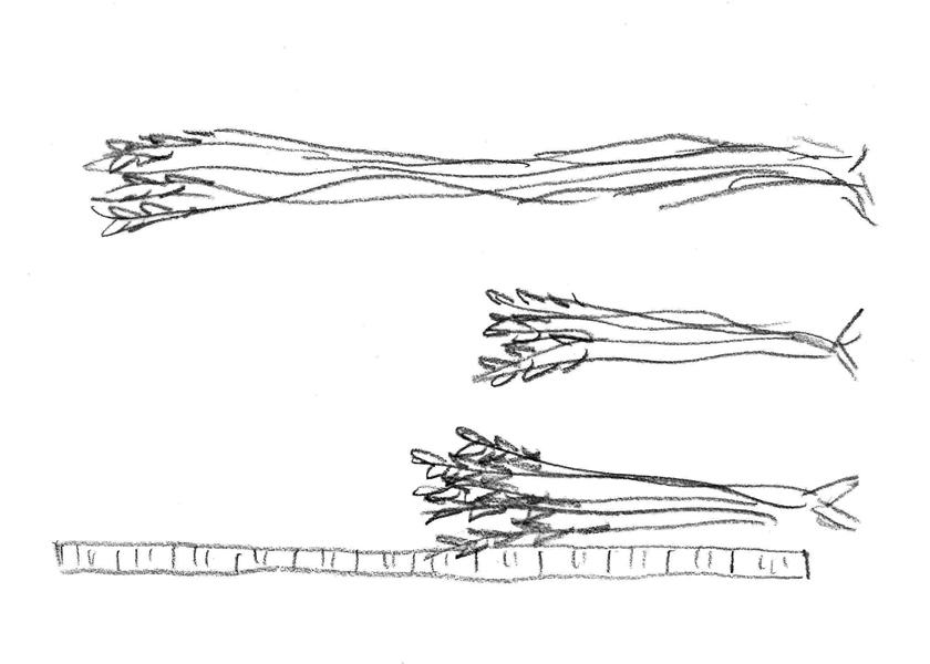 小麦農林10号(下)は、ターキーレッド(上)とフルツ達磨(中)の交配から生まれた。