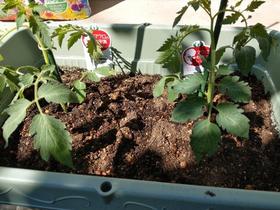 プランターに定植したGABA高蓄積トマト「シシリアンルージュハイギャバ」の栽培モニター用苗。