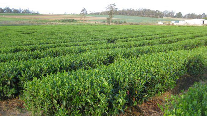 オーストラリアの茶園