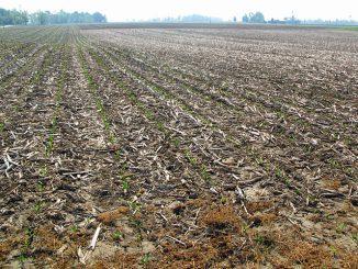 米国のトウモロコシ圃場