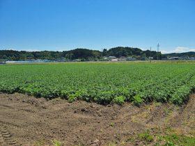水田でのジャガイモ栽培