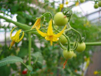 トマトの花と若い実