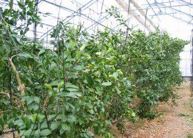 果樹の施設栽培
