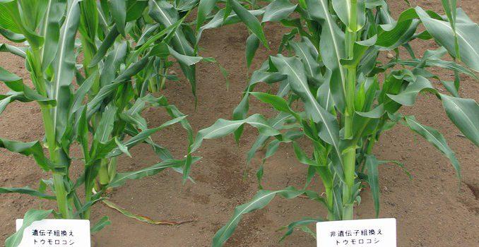 遺伝子組換えトウモロコシ(左)と非組換えトウモロコシ(記事とは直接関係ありません)
