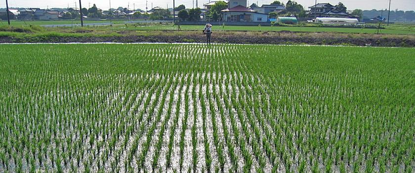 水田の追肥作業(記事とは直接関係ありません)