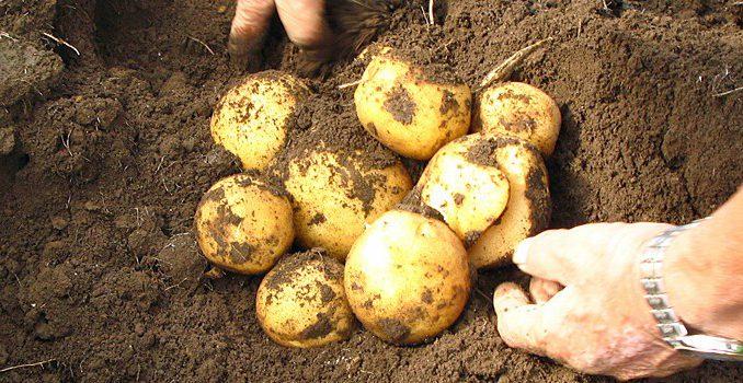 馬鈴薯の収穫(記事とは直接関係ありません)